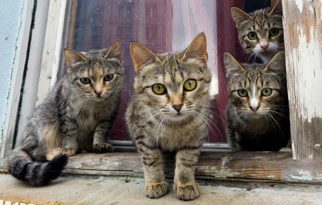 A group of gray cats sit on a window