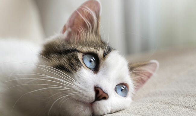 Cat with Blue eyed