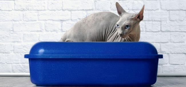 Sphynx cat sitting in a blue litter box